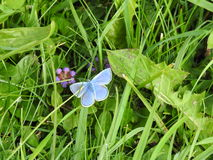 Argus blue celestial or blue adonis is a small butterfly. Argus blue celestial or adonis blue a small butterfly on a background of green grass Stock Photos