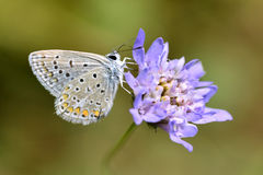Argus butterfly on flower Stock Images