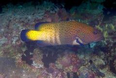 argus cephalopholis grouper paw Obrazy Stock