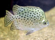 Argus-Fische 1 Lizenzfreies Stockfoto