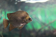Argus Fish Royalty Free Stock Image