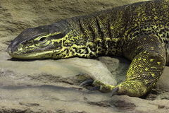 Argus monitor. The argus monitor lying on the rock Stock Photography