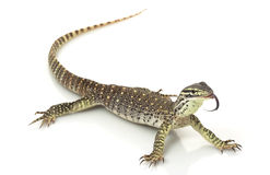 Argus Monitor Lizard Stock Photos