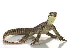 Argus Monitor Lizard. (Varanus panoptes) isolated on white background royalty free stock photo
