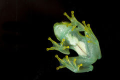 Argus Reed Frog. Against a black background Stock Image