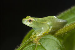 Argus reed frog Royalty Free Stock Photos