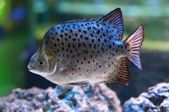 argus scatophagus Fisk i ett akvarium Arkivfoton
