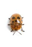 Argus Tortoise Beetle (Chelymorpha cassidea) Royalty Free Stock Image