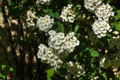 Arguta Spirey Φυτό κήπων Στοκ εικόνα με δικαίωμα ελεύθερης χρήσης