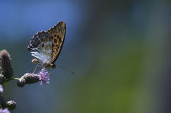 Argynnis adippe Royalty Free Stock Photos