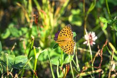 Argynnis adippe aka High brown fritillary butterfly. Sitting on a flower in a green garden in the summer royalty free stock images