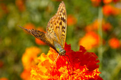 Argynnis adippe butterfly Royalty Free Stock Image