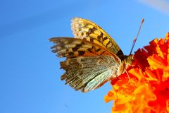 Argynnis adippe butterfly Royalty Free Stock Photos