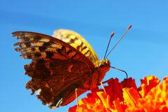 Argynnis adippe butterfly Royalty Free Stock Photo