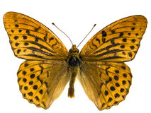 Argynnis adippe Royalty Free Stock Photography