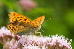 Argynnis aglaja Stock Photos