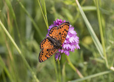 Argynnis aglaja Stock Photography