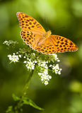 argynnis motyla paphia Zdjęcie Stock