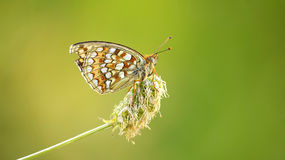Argynnis niobe Stock Photography
