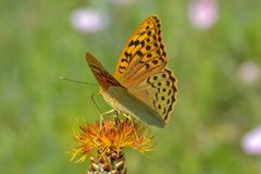 Argynnis pandora. The cardinal, is a butterfly of the Nymphalidae family Royalty Free Stock Images