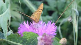 Argynnis pandora, the cardinal, is a butterfly of the Nymphalidae family. Amberboa, is a genus of herbaceous plants of the Aster family Asteraceae stock footage