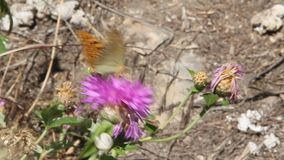 Argynnis pandora, the cardinal, is a butterfly of the Nymphalidae family. Amberboa, is a genus of herbaceous plants of the Aster family Asteraceae stock video footage