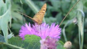Argynnis pandora, de kardinaal, is een vlinder van de Nymphalidae-familie stock footage