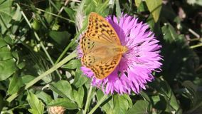 Argynnis pandora, de kardinaal, is een vlinder van de Nymphalidae-familie stock videobeelden
