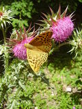 Argynnis paphia蝴蝶克里米亚 免版税库存照片