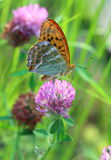 Argynnis paphia. A butterfly a butterfly close up on the blossom Stock Image