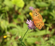 Argynnis paphia butterfly Stock Photography