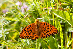 Argynnis paphia butterfly in a meadow Royalty Free Stock Image