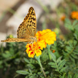 Argynnis paphia butterfly on orange flower. Argynnis paphia butterfly on the orange flower Royalty Free Stock Photos