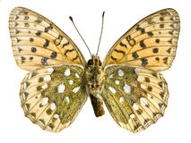 Argynnis paphia Royalty Free Stock Photography