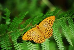 Argynnis paphia, Silver-washed Fritillary stock images