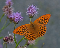 Argynnis paphia, Silver-washed Fritillary Stock Photography