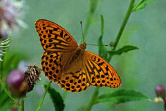 Argynnis paphia, Silver-washed Fritillary. Closeup Royalty Free Stock Images