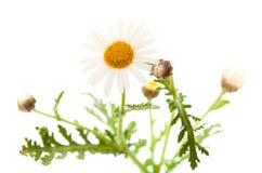 Argyranthemum adauctum Fotografia Royalty Free