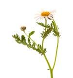 Argyranthemum adauctum Obrazy Stock