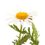 Argyranthemum adauctum Zdjęcie Royalty Free