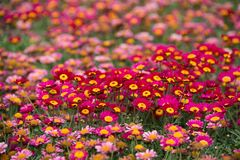 Argyranthemum in a green background. Argyranthemum is a beautiful red, pink, white, yellow flowers with long leaves. The image is taken in the flower exhibition royalty free stock photos