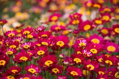 Argyranthemum in a green background. Argyranthemum is a beautiful red, pink, white, yellow flowers with long leaves. The image is taken in the flower exhibition stock images