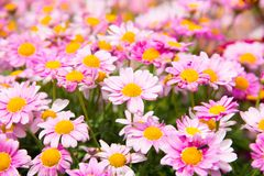 Argyranthemum in a green background. Argyranthemum is a beautiful red, pink, white, yellow flowers with long leaves. The image is taken in the flower exhibition stock photo