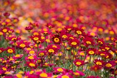 Argyranthemum in a green background. Argyranthemum is a beautiful red, pink, white, yellow flowers with long leaves. The image is taken in the flower exhibition royalty free stock image