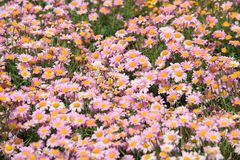 Argyranthemum in a green background. Argyranthemum is a beautiful red, pink, white, yellow flowers with long leaves. The image is taken in the flower exhibition stock photos