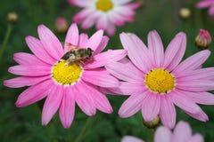 Argyranthemum frutescens或桃红色延命菊 免版税库存图片