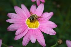 Argyranthemum frutescens或桃红色延命菊 库存照片