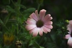 argyranthemum frutescens,巴黎雏菊,延命菊,延命菊雏菊 免版税图库摄影
