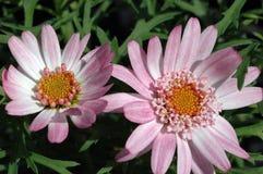 Argyranthemum frutescens «έναρξη Kudel» Στοκ Φωτογραφίες