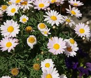 Argyranthemum frutescens «ροζ Madiera» Στοκ φωτογραφία με δικαίωμα ελεύθερης χρήσης